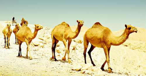 arab and the camel story moral